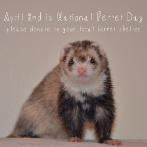 National Ferret Day 2013